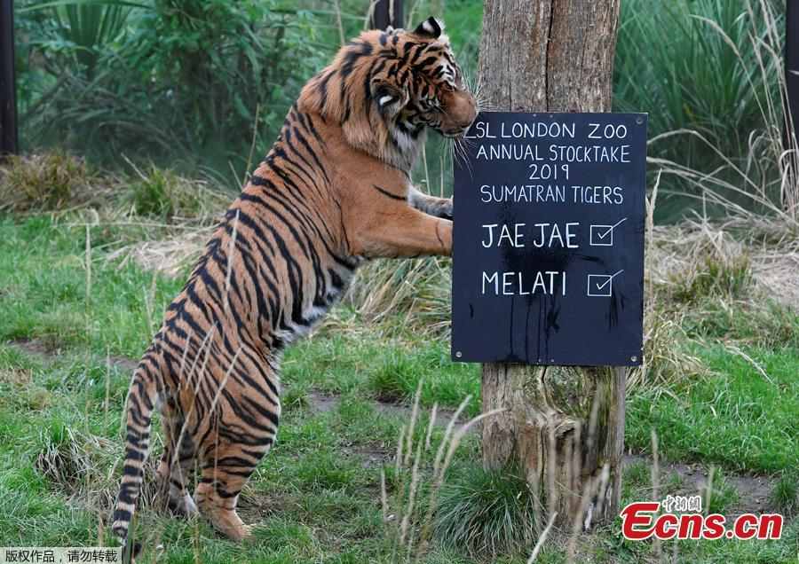Jae Jae, a Sumatran Tiger examines a noticeboard during an event to publicise the annual stocktake at London Zoo in London, Britain, January 3, 2019.  London Zoo is home to about 19,000 animals and almost 700 species and every year the keepers dust off their clipboards and make sure everyone is present and correct.(Photo/Agencies)
