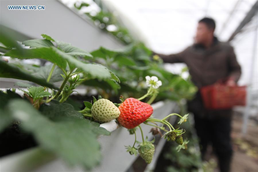 A farmer attends strawberry plants at a greenhouse in Jiangwang Town, Yangzhou City, east China\'s Jiangsu Province, Jan. 4, 2019. (Xinhua/Meng Delong)