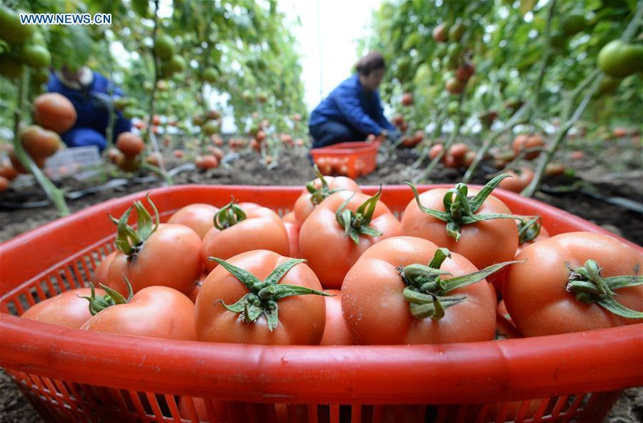 Farmers harvest tomatoes at a greenhouse in Handan, north China\'s Hebei Province, Jan. 4, 2019. (Xinhua/Hao Qunying)