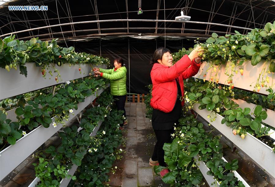 Farmers attend strawberry plants at a greenhouse in Huailai County, north China\'s Hebei Province, Jan. 4, 2019. (Xinhua/Wu Diansen)