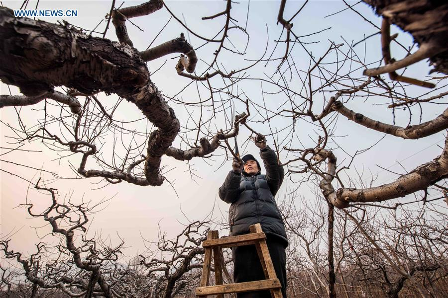 <?php echo strip_tags(addslashes(A farmer prunes branches for peach trees in Qingzhou, east China's Shandong Province, Jan. 4, 2019. (Xinhua/Wang Jilin))) ?>