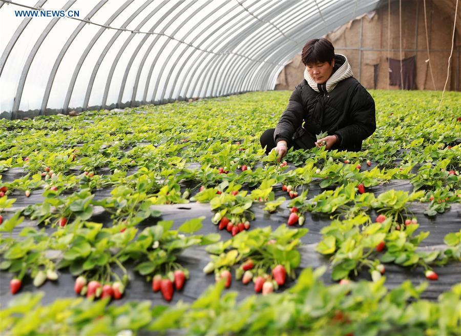 A farmer attends strawberry plants at a greenhouse in Renxian County, north China\'s Hebei Province, Jan. 4, 2019. (Xinhua/Song Jie)