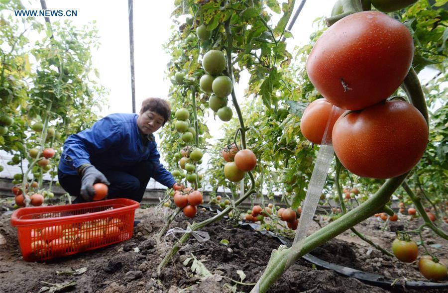 A farmer harvests tomatoes at a greenhouse in Handan, north China\'s Hebei Province, Jan. 4, 2019. (Xinhua/Hao Qunying)