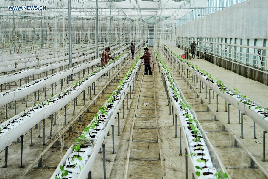 Staff members take care of cucumber seedlings at a greenhouse in Hai\'an City, east China\'s Jiangsu Province, Jan. 4, 2019. (Xinhua/Gu Huaxia)