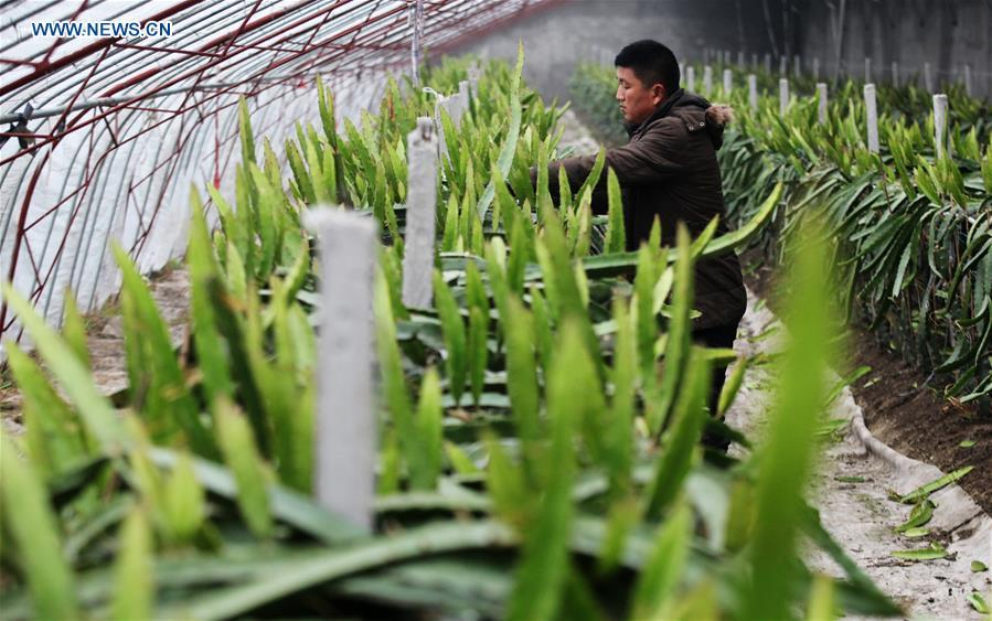A farmer prunes pitaya plants at a greenhouse in Jiangwang Town, Yangzhou City, east China\'s Jiangsu Province, Jan. 4, 2019. (Xinhua/Meng Delong)