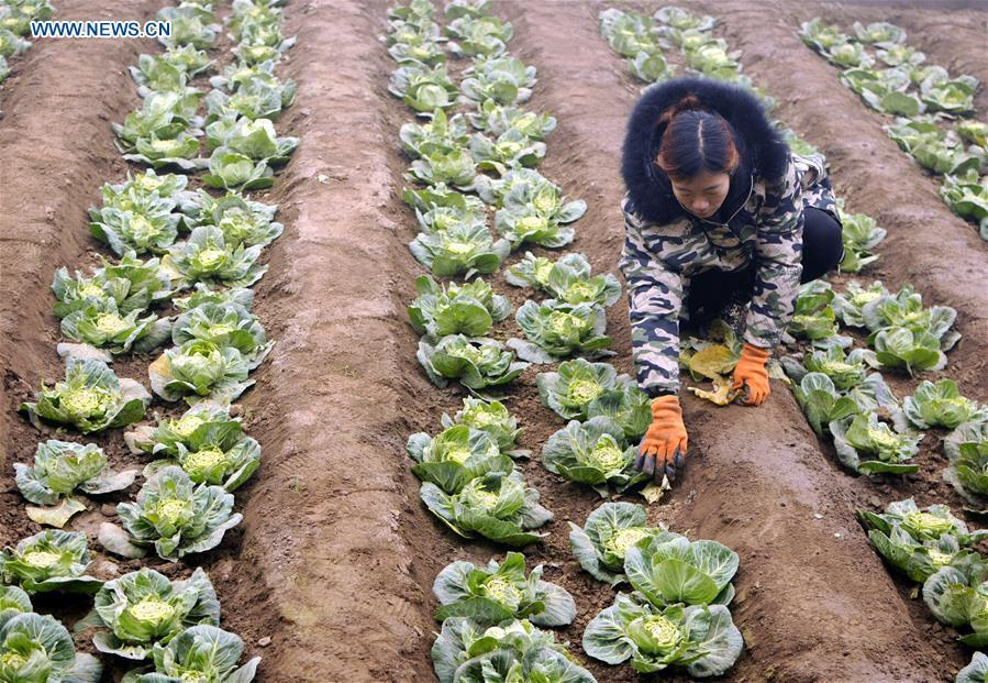 <?php echo strip_tags(addslashes(A farmer plants kale at a greenhouse in Xingtai, north China's Hebei Province, Jan. 4, 2019. (Xinhua/Tian Xiaoli))) ?>