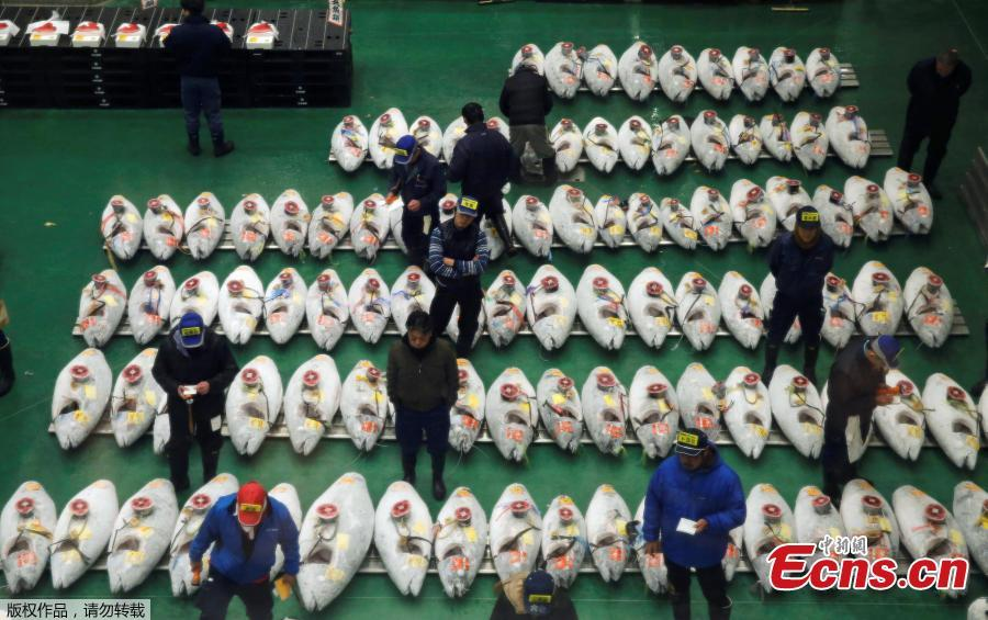 Wholesalers check the quality of frozen tuna displayed during at the Toyosu fish market\'s first tuna auction in this year in Tokyo, Japan, Jan. 5, 2019. (Photo/Agencies)