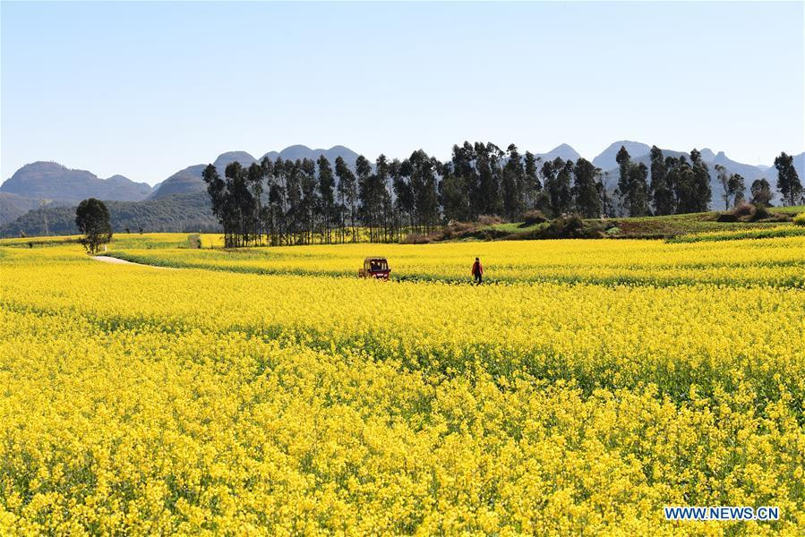 Photo taken on Jan. 6, 2019 shows the blooming cole flowers at Luoping County in Qujing City, southwest China\'s Yunnan Province. (Xinhua/Mao Hong)