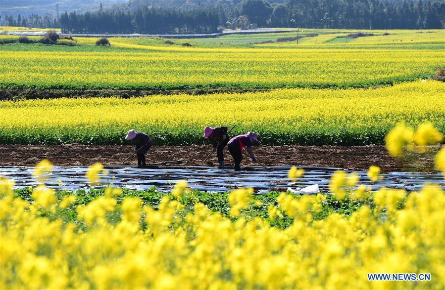 Farmers work in the field beside the cole flowers at Luoping County in Qujing City, southwest China\'s Yunnan Province, Jan. 6, 2019. (Xinhua/Mao Hong)