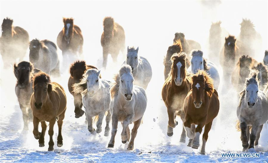 Horses run on the snow-covered grassland in Hexigten Banner of Chifeng City, north China\'s Inner Mongolia Autonomous Region, Jan. 6, 2019. Inner Mongolia greets a peak tourism season in winter recently. (Xinhua/Peng Yuan)