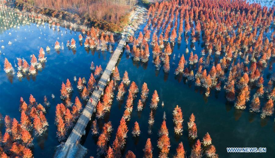 Aerial photo taken on Jan. 5, 2019 shows the wetland of dawn redwood in Dianwei Village in Panlong District of Kunming, capital of southwest China\'s Yunnan Province. The wetland is located at Songhuaba water source reserve, also the upper reaches of the Dian Lake. Songhuaba water source reserve is the main drinking water source of Kunming City. Ecological remediation measures have been implemented for ten years in this area to protect the environment. (Xinhua/Qin Qing)