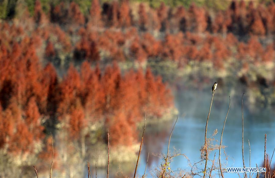 A bird rests on a branch at the wetland of dawn redwood in Dianwei Village in Panlong District of Kunming, capital of southwest China\'s Yunnan Province, Jan. 5, 2019. The wetland is located at Songhuaba water source reserve, also the upper reaches of the Dian Lake. Songhuaba water source reserve is the main drinking water source of Kunming City. Ecological remediation measures have been implemented for ten years in this area to protect the environment. (Xinhua/Qin Qing)
