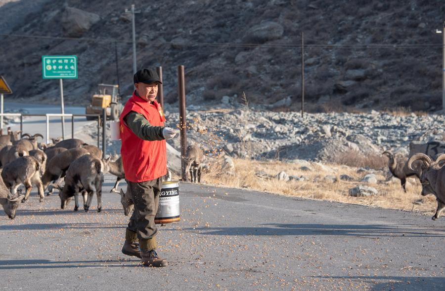 Tian Yuchun, a forest ranger at Helanshan National Forest Park in Northwest China\'s Ningxia Hui autonomous region, feeds bharals on Jan. 5, 2019. (Photo by Ji Zheng for chinadaily.com.cn)