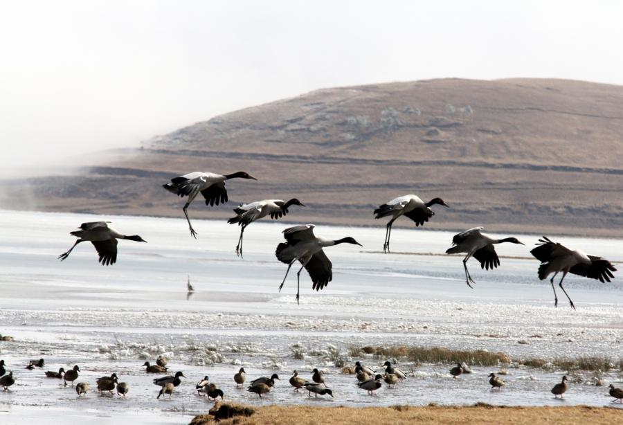 Black-necked cranes are seen at Dashanbao National Nature Reserve for Black-necked Cranes in Zhaotong city, Southwest China\'s Yunnan Province. (Photo by Zheng Yuanjian for chinadaily.com.cn)