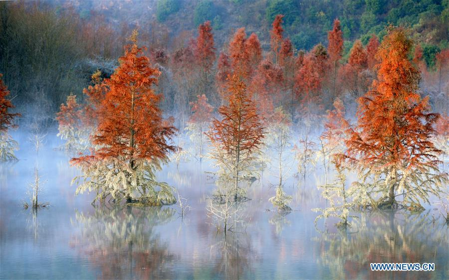 Photo taken on Jan. 5, 2019 shows the wetland of dawn redwood which is clad in mist in Dianwei Village in Panlong District of Kunming, capital of southwest China\'s Yunnan Province. The wetland is located at Songhuaba water source reserve, also the upper reaches of the Dian Lake. Songhuaba water source reserve is the main drinking water source of Kunming City. Ecological remediation measures have been implemented for ten years in this area to protect the environment. (Xinhua/Qin Qing)