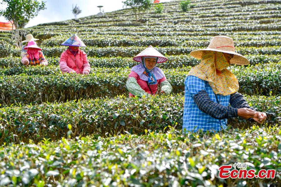 Women of the Li ethnic group pick tea leaves at a plantation at the foot of Wuzhi Mountain in Shuiman Township, South China\'s Hainan Province, Jan. 8, 2019. Farmers began picking new season tea leaves, \