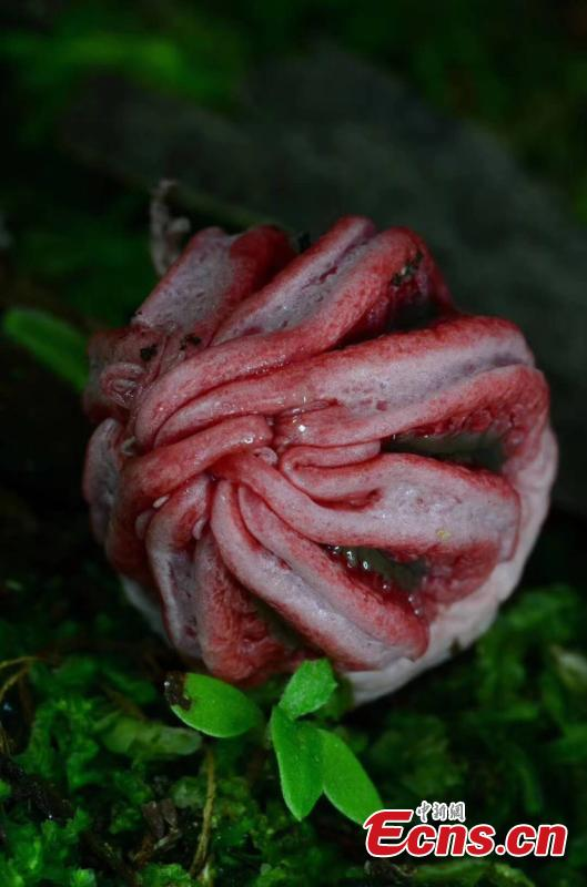 Fungus Clathrus archeri, commonly known as octopus stinkhorn or devil\'s fingers, is found in the Maolan National Nature Reserve in Libo County, Guizhou Province. With a strange, scary appearance, it also smells like putrid flesh. (Photo provided to China News Service)