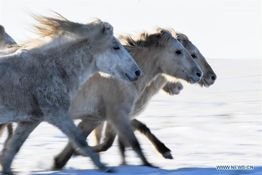 Horses run on the snowfield in West Ujimqin Banner, north China\'s Inner Mongolia Autonomous Region, Jan. 8, 2019. (Xinhua/Liu Lei)