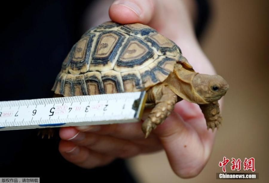 A four-month old panther turtle is measured by a vet during an annual stocktake at the Zoo in Duisburg, western Germany, Jan. 9, 2019. (Photo/Agencies)