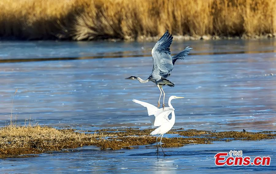 Birds at a wetland in Golmud, Haixi Mongol and Tibetan Autonomous Prefecture, Northwest China\'s Qinghai Province, Jan. 9, 2019. The wetland is an ideal habitat for wild birds, which in turn attract large numbers of photographers. (Photo: China News Service/Zhu Guifu)