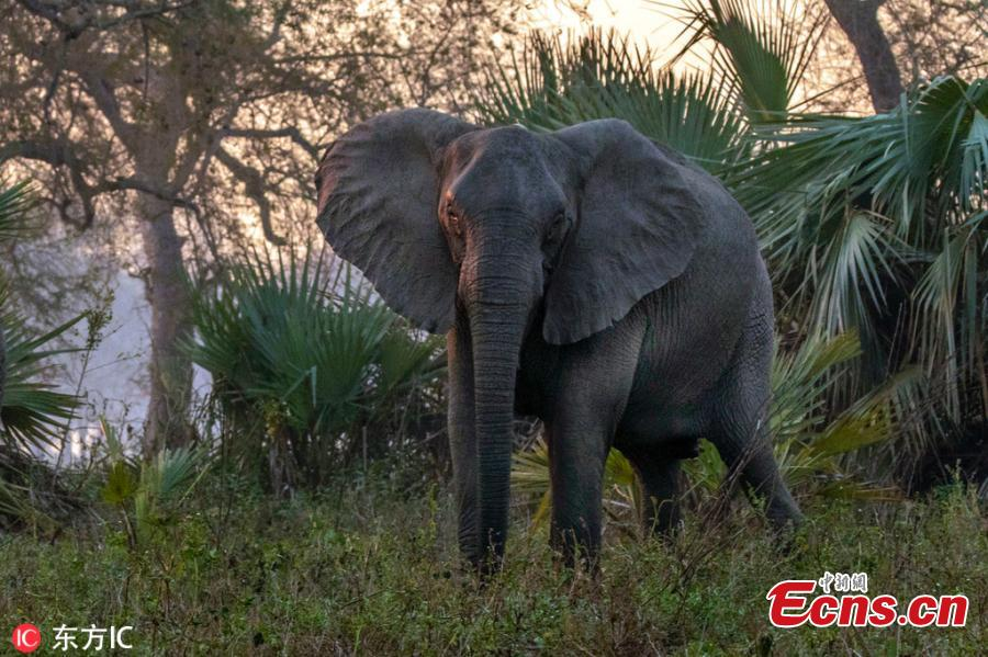 Hunting gave elephants that didn\'t grow tusks a biological advantage in Mozambique\'s Gorongosa National Park. Recent researches suggest that about a third of younger females—the generation born after the war ended in 1992—never developed tusks. Normally, tusklessness would occur only in about 2 to 4 percent of female African elephants. (Photo/IC)