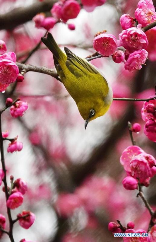 A wild bird rests on a branch of a blossoming plum tree in Guiyang, capital of southwest China\'s Guizhou Province, on Jan. 9, 2019. (Xinhua/Qin Gang)