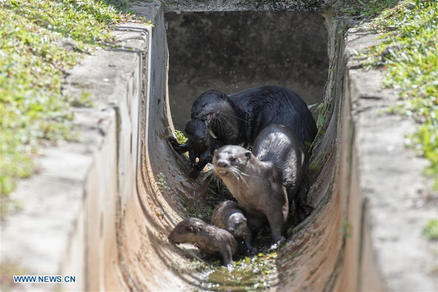 A family of smooth-coated otters make their way back to their holt after swimming practise near Singapore River on Jan. 10, 2019. This family of smooth-coated otters, comprising of three adults and three otter pups, made their home in urban city centre of Singapore. (Xinhua/Then Chih Wey)
