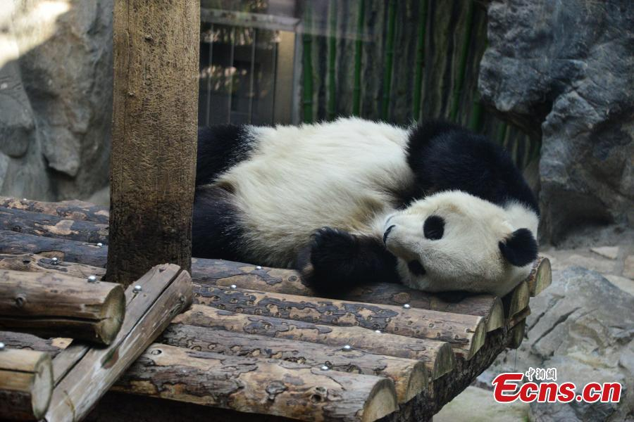 A giant panda rests in an air-conditioned room at the Beijing Zoo, Jan. 10, 2019, as the city\'s temperatures continued to drop. (Photo: China News Service/Fan Jiashan)