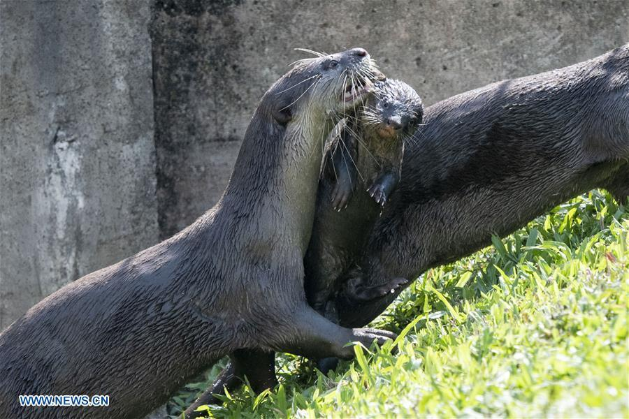 A smooth-coated otter grabs its 6-week-old pup in its mouth after swimming practise in a storm drain near Singapore River on Jan. 10, 2019. This family of smooth-coated otters, comprising of three adults and three otter pups, made their home in urban city centre of Singapore. (Xinhua/Then Chih Wey)