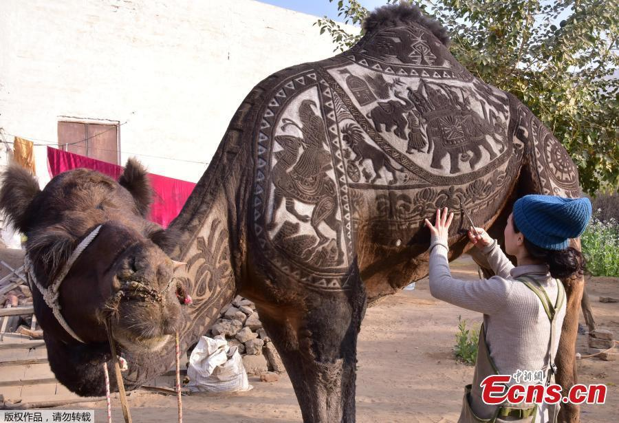 A hairstylist from Japan creates intricate art on live animals for the Bikaner Camel Festival in Rajasthan, India, Jan. 10, 2019. (Photo/Agencies)