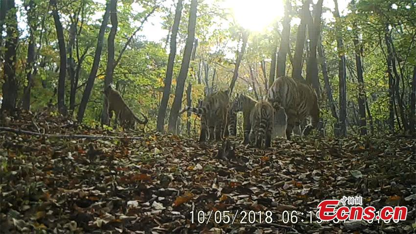 A still image from a video taken on May 10, 2018 by an infrared camera in Hunchun, Jilin Province shows a rare scene, a family of five wild Siberian tigers at the Northeast Tiger and Leopard National Park. Established in 2017, the park covers more than 1.46 million hectares. About 71 percent of the area is in Jilin and the rest in adjacent Heilongjiang Province. (Photo provided to China News Service)