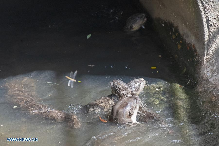 A trio of 6-week-old smooth-coated otter pups learn to swim in a storm drain near Singapore River on Jan. 10, 2019. This family of smooth-coated otters, comprising of three adults and three otter pups, made their home in urban city centre of Singapore. (Xinhua/Then Chih Wey)
