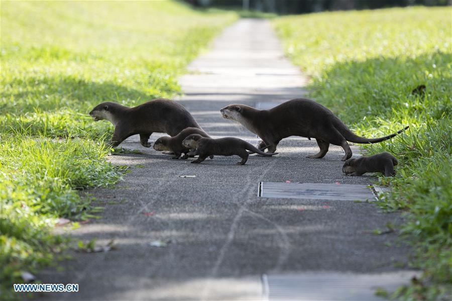 A family of smooth-coated otters make their way to a canal to practise swimming near Singapore River on Jan. 10, 2019. This family of smooth-coated otters, comprising of three adults and three otter pups, made their home in urban city centre of Singapore. (Xinhua/Then Chih Wey)