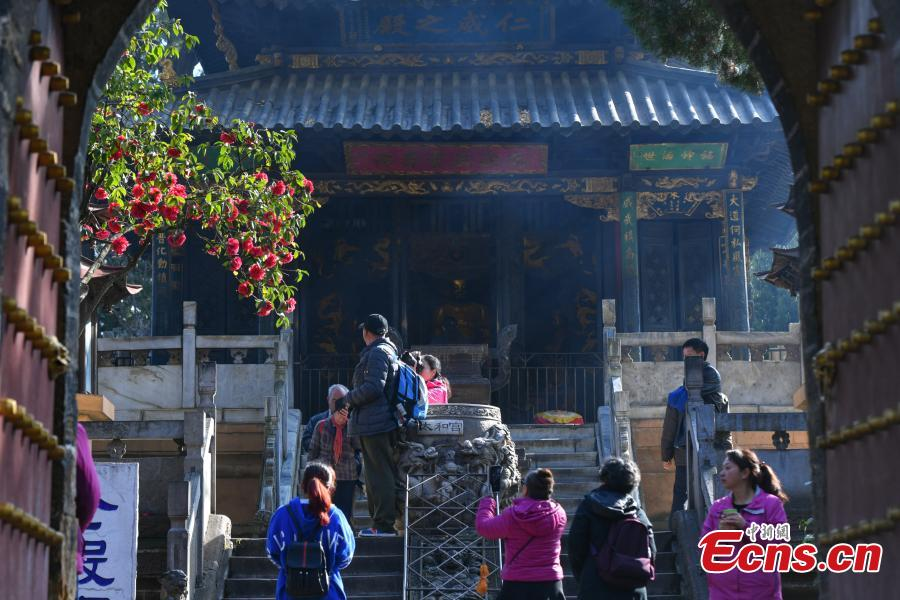 A camellia that is more than 400 years old blooms in front of the Golden Temple in Kunming City, Yunnan Province, Jan. 10, 2019. The camellia is an iconic attraction of the famous Taoist bronze-tiled temple. When in bloom, the tree has hundreds of flowers. (Photo: China News Service/Ren Dong)