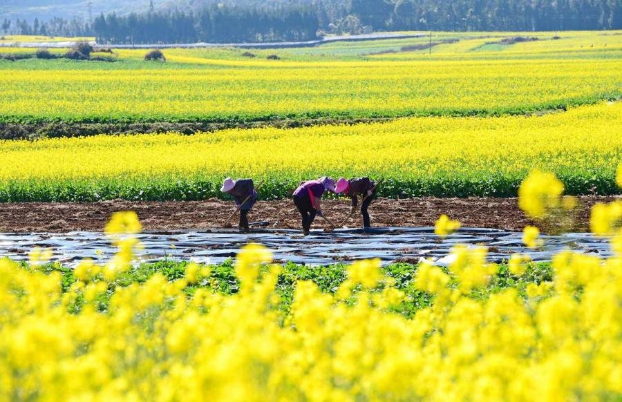 Farmers work on a plot surrounded by blossoming rapeseed flowers. (Photo by Mao Hong/for chinadaily.com.cn)