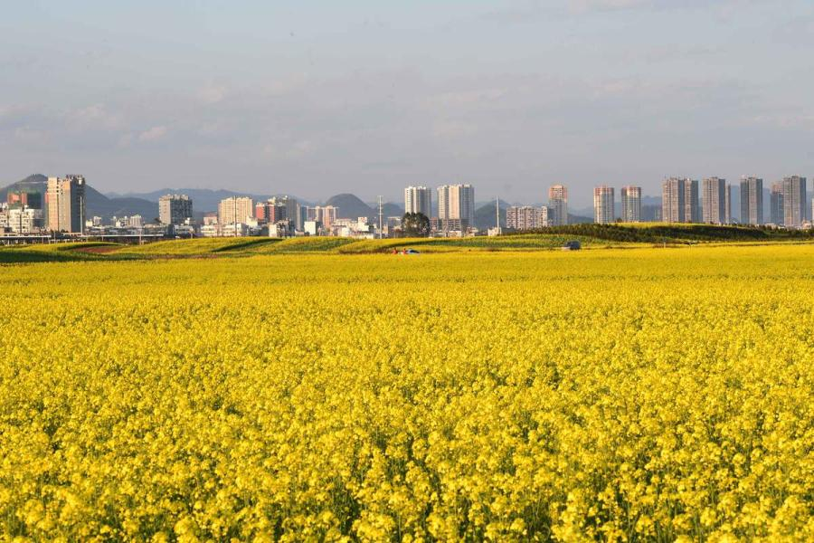 Tall buildings and mountains beyond help frame this Luoping county field turned yellow by blossoming rapeseed flowers in Southwest China\'s Yunnan Province.  (Photo by Mao Hong/for chinadaily.com.cn)