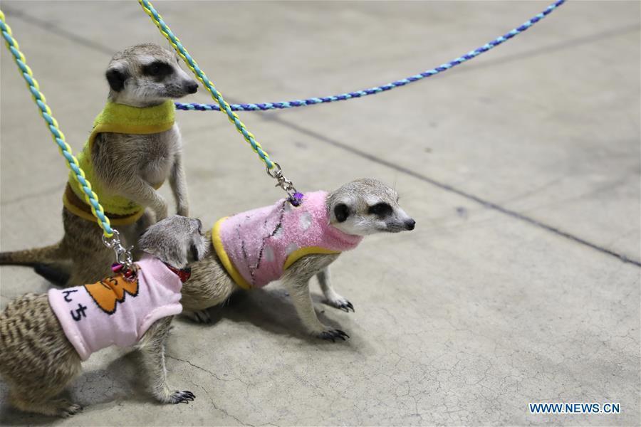 Meerkats are seen at \