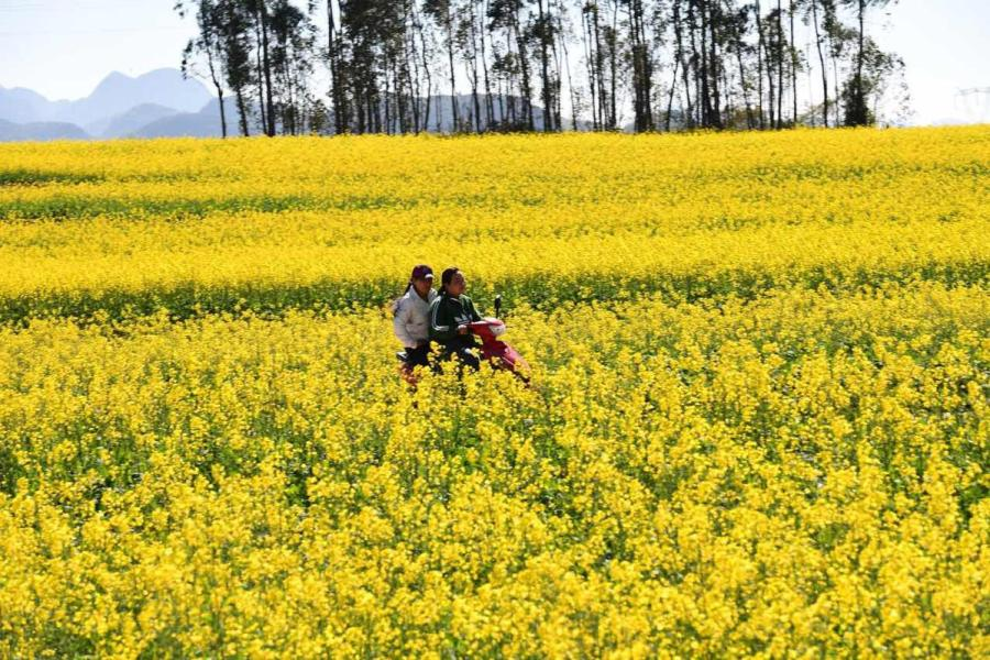 Locals ride a motorcycle on a road surrounded by rapeseed flowers. (Photo by Mao Hong/for chinadaily.com.cn)