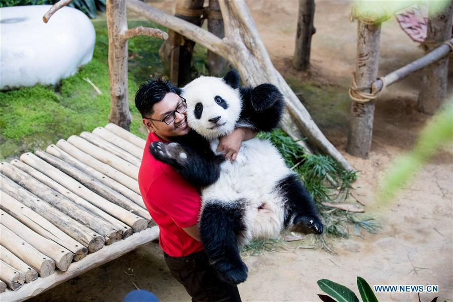A giant panda keeper holds the baby giant panda to prepare for the celebration of its first birthday at the Malaysian National Zoo near Kuala Lumpur, Malaysia, Jan. 14, 2019. The second giant panda born in Malaysia celebrated her first birthday at the Malaysian national zoo on Monday. The baby giant panda is the second offspring of her parents Xing Xing and Liang Liang who arrived in Malaysia in 2014. (Xinhua/Zhu Wei)