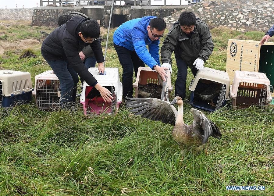 Staff members release migrant birds into the wild at the Poyang Lake national natural reserve in east China\'s Jiangxi Province, Jan. 14, 2019. Sixteen rare migrant birds, including one oriental white stork, two whooper swans and three mandarin ducks, were released into the wild in Jiangxi on Monday. (Xinhua/Wan Xiang)