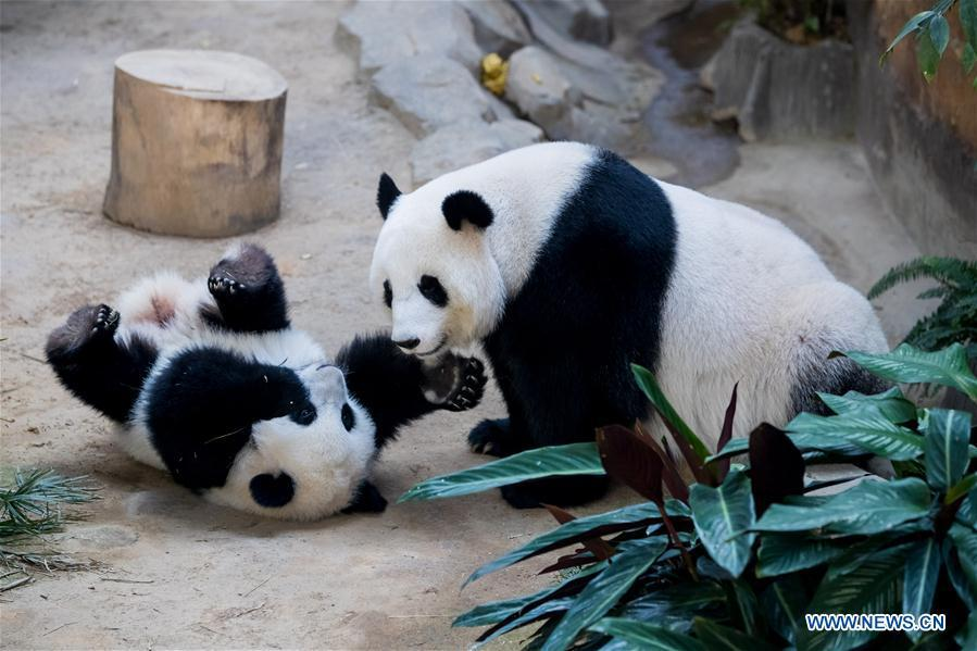 A baby giant panda (L) plays with her mother on her one year old birthday at the Malaysian National Zoo near Kuala Lumpur, Malaysia, Jan. 14, 2019. The second giant panda born in Malaysia celebrated her first birthday at the Malaysian national zoo on Monday. The baby giant panda is the second offspring of her parents Xing Xing and Liang Liang who arrived in Malaysia in 2014. (Xinhua/Zhu Wei)