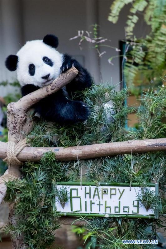 A baby giant panda plays on her one year old birthday at the Malaysian National Zoo near Kuala Lumpur, Malaysia, Jan. 14, 2019. The second giant panda born in Malaysia celebrated her first birthday at the Malaysian national zoo on Monday. The baby giant panda is the second offspring of her parents Xing Xing and Liang Liang who arrived in Malaysia in 2014. (Xinhua/Zhu Wei)