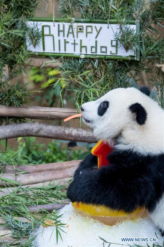 A baby giant panda tastes her birthday cake on her one year old birthday at the Malaysian National Zoo near Kuala Lumpur, Malaysia, Jan. 14, 2019. The second giant panda born in Malaysia celebrated her first birthday at the Malaysian national zoo on Monday. The baby giant panda is the second offspring of her parents Xing Xing and Liang Liang who arrived in Malaysia in 2014. (Xinhua/Zhu Wei)