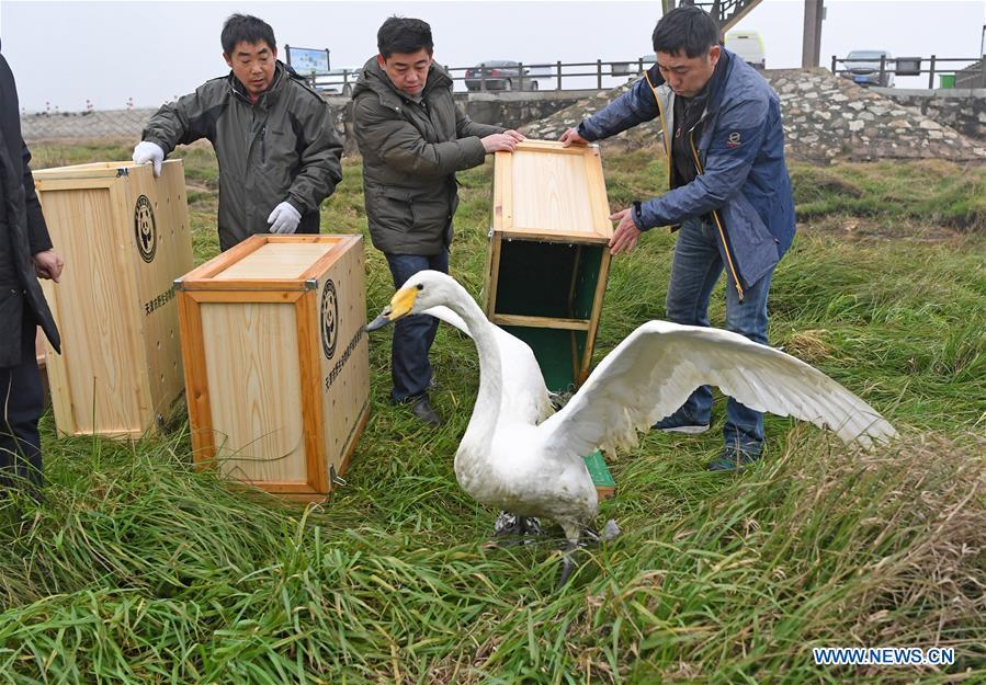 Staff members release a whooper swan into the wild at the Poyang Lake national natural reserve in east China\'s Jiangxi Province, Jan. 14, 2019. Sixteen rare migrant birds, including one oriental white stork, two whooper swans and three mandarin ducks, were released into the wild in Jiangxi on Monday. (Xinhua/Wan Xiang)