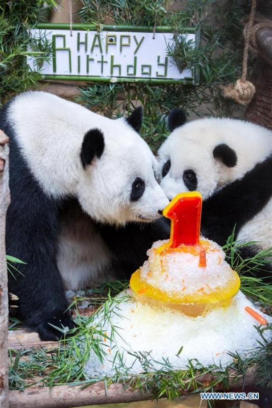 A baby giant panda (R) celebrates her one year old birthday with her mother at the Malaysian National Zoo near Kuala Lumpur, Malaysia, Jan. 14, 2019. The second giant panda born in Malaysia celebrated her first birthday at the Malaysian national zoo on Monday. The baby giant panda is the second offspring of her parents Xing Xing and Liang Liang who arrived in Malaysia in 2014. (Xinhua/Zhu Wei)