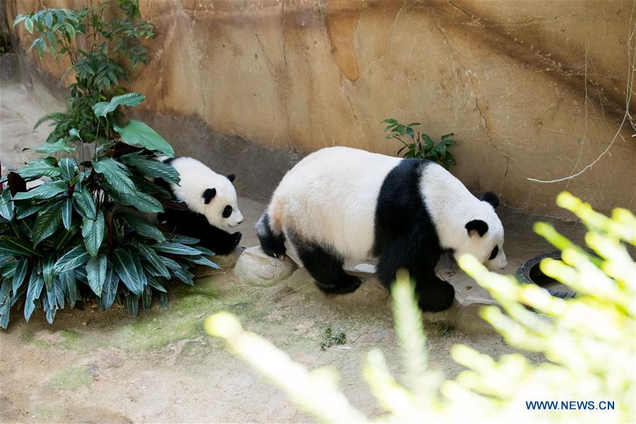 A baby giant panda (L) walks with her mother on her one year old birthday at the Malaysian National Zoo near Kuala Lumpur, Malaysia, Jan. 14, 2019. The second giant panda born in Malaysia celebrated her first birthday at the Malaysian national zoo on Monday. The baby giant panda is the second offspring of her parents Xing Xing and Liang Liang who arrived in Malaysia in 2014. (Xinhua/Zhu Wei)