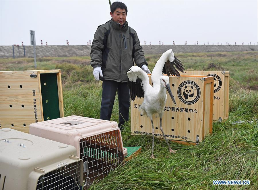 Staff members release an oriental white stork into the wild at the Poyang Lake national natural reserve in east China\'s Jiangxi Province, Jan. 14, 2019. Sixteen rare migrant birds, including one oriental white stork, two whooper swans and three mandarin ducks, were released into the wild in Jiangxi on Monday. (Xinhua/Wan Xiang)