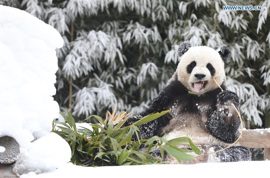 A giant panda is seen at the Panda World of Everland, a South Korean theme park located in Yongin, 40 km south of capital Seoul, on Jan. 15, 2019. The Panda World of Everland has opened to public for 1,000 days. (Xinhua/Everland)