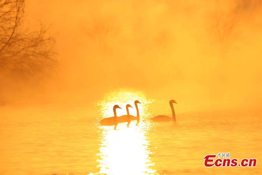 A view of swans enveloped by fog at a wetland in Yingtamu Township, Yining County, Northwest China\'s Xinjiang Uygur Autonomous Region. Some 200 swans, mostly the species of mute swan, inhabit the wetland during winter every year. In recent years, the wetland has become a famous spot for photographers to take snaps of the elegant, large birds in a beautiful environment. (Photo: China News Service/Cui Minghao)