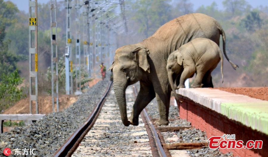 Elephants attempt crossing a railway track as their habitat is interrupted in India. The Indian population of elephants is depleting due to fatal encounter with trains, trucks and human activities, local media reported. (Photo/IC)